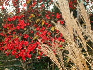 Miscanthus and Sparkleberry