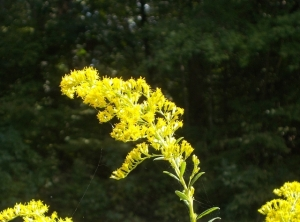 Goldenrod, begins to bloom in August, but still going strong in October