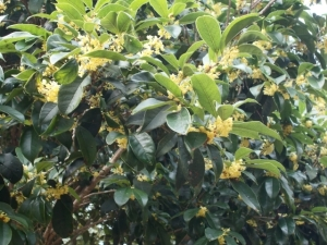 Thousands of Osmanthus fragrans blooms, inconspicuous but heady