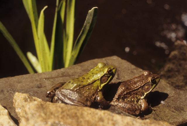 memevgfrogs2