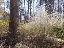 Bridal wreath spirea brightens early spring