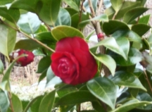 On the whole, camellias did well, even giving out some bloom