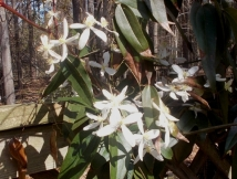 Clematis Armandii, better than ever