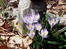A little late, but crocus arrived in chilly weather