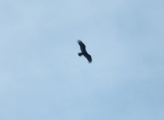The osprey arrived on time and let us know they were here