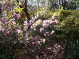 Pink flowering almond loved the cool weather