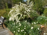 Exuberant spirea 'Double Reeves' and daffodils 'Erlicheer'